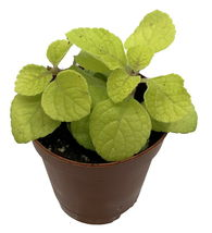 "2.5"" Pot - Golden Lemon Swedish Ivy Plant - Plectranthus - Easy to Grow ... - $45.00"