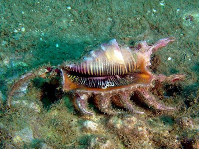 Very Rare! Beautiful Spider Scorpion Ocean Shell Gem – Size 65 x 130 mm.