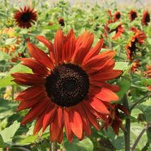 Sunflower Seeds - Velvet Queen - Flower Seeds - Starts Nursery - Outdoor Living - $26.50+