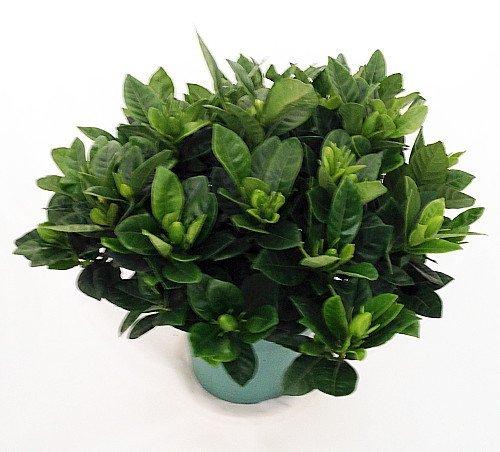 "Corsage Gardenia Plant - Gardenia grandiflora - 6"" Pot"