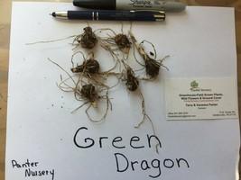 Green Dragon, 5 root/bulbs (Arisaema dracontium) image 2