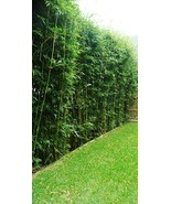 "10 Plants for 50 Ft Bamboo Hedge-Bambusa Multiplex ""Silverstripe"" Clumpi... - $110.00"
