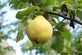 Edible Le Page Quince heirloom fruit tree hardy Pear Family LIVE PLANT s... - $35.99