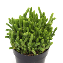 "WATCH CHAIN CRASSULA MUSCOSA (LARGE FORM) 2"" POT SUCCULENT  - $36.84"