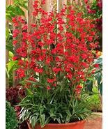 50 Seeds of Easton's Penstemon Penstemon Eatonii - Firecracker Penstemon - $11.74