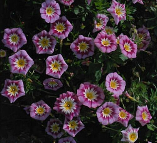Primary image for Convolvulus Ensign Series Rose Annual Seeds
