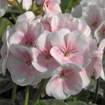 15 Film Coated - Geranium Maverick Appleblossom - $9.99