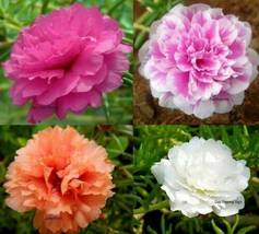 SHIP FROM US 8,000 Moss Rose Double Flower Mix Seeds, ZG09 - $22.76