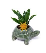 Janet Craig Dragon Tree - Dracaena fragrans - turttle ceramic pot - $20.78