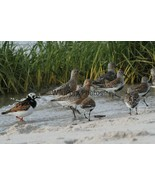 Red Knots, Dunlin and  Ruddy Turnstones Photo - Various Sizes - $7.50+