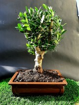 Olive tree Bonsai Amazing tree Very old plant - $264.00