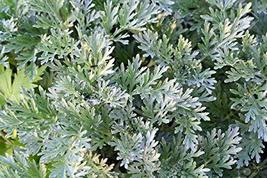 Artemisia Annua Seeds,Wormwood Seeds(Artemisis Absinthium) Herb Seed Org... - $6.00
