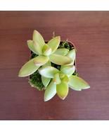 "LIVE SUCCULENT Sedum Firestorm 2"" potted plant sedum adolphi golden - $7.99"
