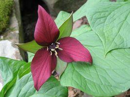 Red Trillium 5 bulbs,Wood Lily (Trillium Erectum) image 3