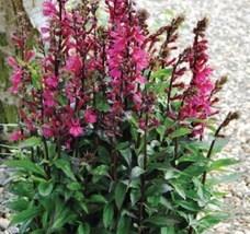 1 Live Plant Quart Pot Lobelia Plant, Starship Deep Rose Cardinal Plant ... - $76.00