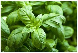 Sow No GMO Basil Large Leaf Italian Bee Butterfly Pollinator Magnet Non ... - $2.94