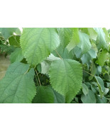 10 Fresh Leaves Lá Gai Ramie Boehmeria Nivea Leaves  - $3.00