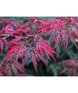 Live Plant Crimson Queen Laceleaf Weeping Maple Trade Gallon Pot FREESHI... - $110.00