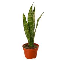 """1 Live Plant - Snake Zeylanica 4"""" Pot #HPS13 - $38.99"""