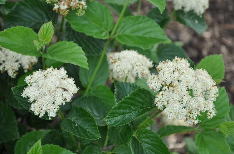 Chicago Lustre viburnum shrub