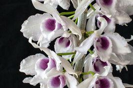 Dendrobium anosum (Hono Hono) Travis x Momilani, orchid plant, br - $36.11