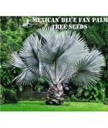 10 Mexican Blue Fan Palm Tree Seeds - $6.92