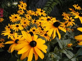 SHIPPED FROM US Black Eyed Cut Flower Yellow (4 PACKETS OF 2000 Seeds), ... - $10.96