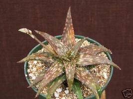 Aloe jucunda exotic rare succulent plant cacti cactus 4 - $26.00