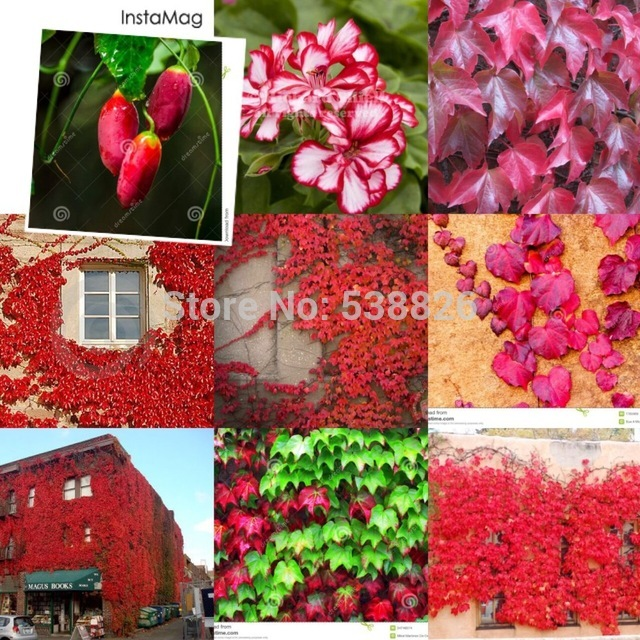 10 Pcs Red Ivy Creeper Leaves Heirloom Seeds, Healthy Herbs Seed TM