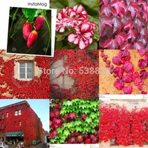 10 Pcs Red Ivy Creeper Leaves Heirloom Seeds, Healthy Herbs Seed TM - $8.56
