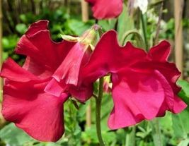 50 ROYAL Scarlet ,Climbing Sweet Pea,both in the garden and brought inside. - $10.99