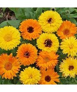 Non GMO Bulk Calendula Seeds - Pacific Beauty Mix Calendula officinalis ... - $679.14