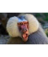 Hamadryas Baboon Monkey Face Wild Animal Nature... - $21.90