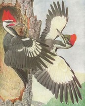1936 Color Bird Plates 63 64 Louis Agassiz Fuertes Woodpecker Flicker 2P1-5 - $26.97