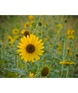 Field of Yellow Flowers - Fine Art Print (12x18) - $24.99