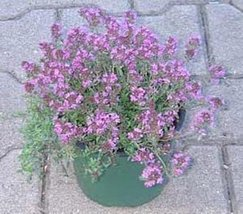 50 Seeds of Herb - Thyme Aromatic - $16.83