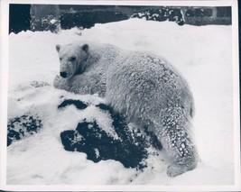 Photo Franklin PK Bimbo Baby Bear Snow Covered Ground Animals Vintage 7x9 - $18.55