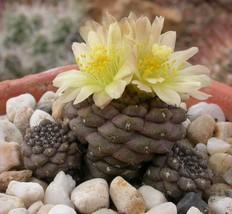 Live Plant Copiapoa hypogaea barquitensis Cactus Cacti Succulent Real  - $34.29