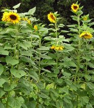 SHIP FROM US 4 Ounces Seeds Mammoth Giant Sunflower,DIY Plant Seeds RM - $28.99