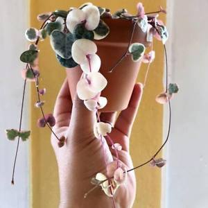 100pcs Ceropegia Woodii Seeds / String of Hearts / Hardy Vining Succulent Plant