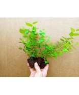 Blueberry Starter Plant ~ REKA... Price includes 4 plants free shipping - $29.00