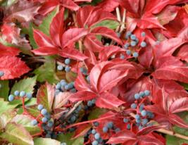 5 Pcs Seeds Virginia Creeper Vine Parthenocissus Quinquefolia Flower - DL - $16.00