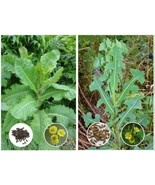 Opium Lettuce (Lactuca virosa) & Prickly Lettuce (L. serriola) Buyer Gets Both - $6.44 - $13.81