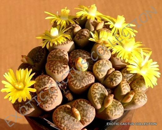 RARE LITHOPS BROMFIELDII @J@ mesembs living stone rock plant seed 50 SEEDS - $9.99