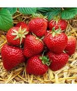 10+ Organic Honeoye Strawberry Plants Incredibly Sweet Berry Non GMO Bare Root - $22.99