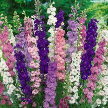 50 Bright Mix Delphinium Perennial Garden Flower Seeds #STL17 - $17.17