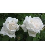 New White GRANDMA'S CLIMBING ROSE Photo by Roxsanne Johnson - $5.00