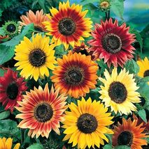 SHIP From US, 500 Seeds Sunflower Seeds Mix, DIY Home Plants AM - $66.99