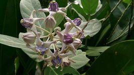 Calotropis Gigantea Giant Milkweed Tree Plant Butterfly Garden Purple Flower - $53.99