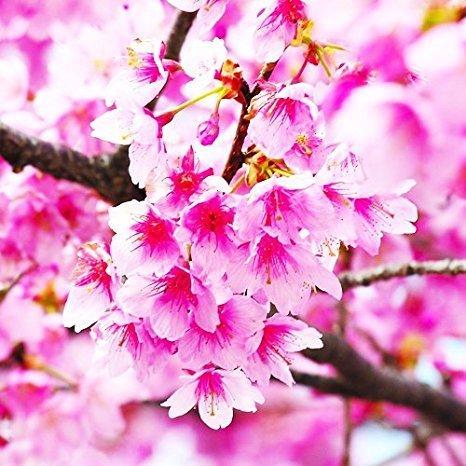 10 Seeds JAPANESE CHERRY TREE Pink Cloud Oriental Sweet Prunus Serrulata Flower